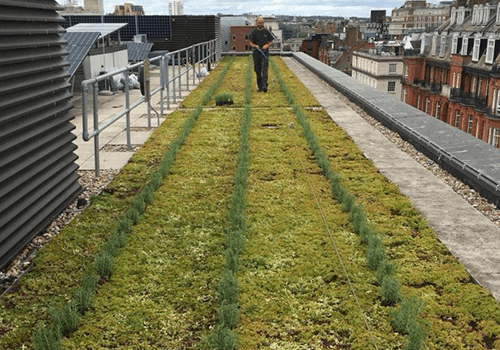 Image shows a member of P&P's maintenance crew, attached to a fall-arrest system, on a sedum and lavender green roof in Mayfair, London
