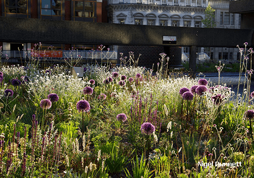 Image shows drought tolerant planting at the Barbican gardens in London in summer with Allium globemaster, Verbena bonariensis, Salvia nemorosa, Lychnis coronaria Alba and Melica ciliata. Planting by Nigel Dunnet. Podium Roof by Pritchard & Pritchard.