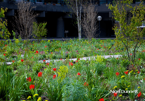 Image shows the Barbican gardens in London in spring with red tulips, yellow Euphorbias and blossoming Amelanchier lamarkii. Planting by Nigel Dunnet. Green infrastructure by Pritchard & Pritchard.
