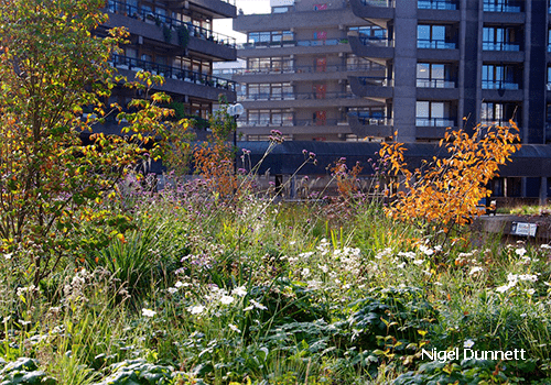 Image shows the autumnal planting at the Barbican gardens in London in bloom in late summer including Amelanchier lamarkii, Cornus kousa, Anemone x hybrida 'Honorine Jobert' and Gaura lindheimeri 'Whirling Butterflies'. Planting by Nigel Dunnet. Green infrastructure by Pritchard & Pritchard.