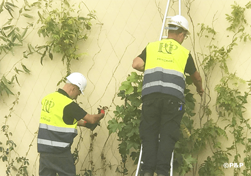 Image shows the Prichard & Prichard green facade installation crew tying newly planted climbers to a stainless-steel bar-and-wire-rope trellis
