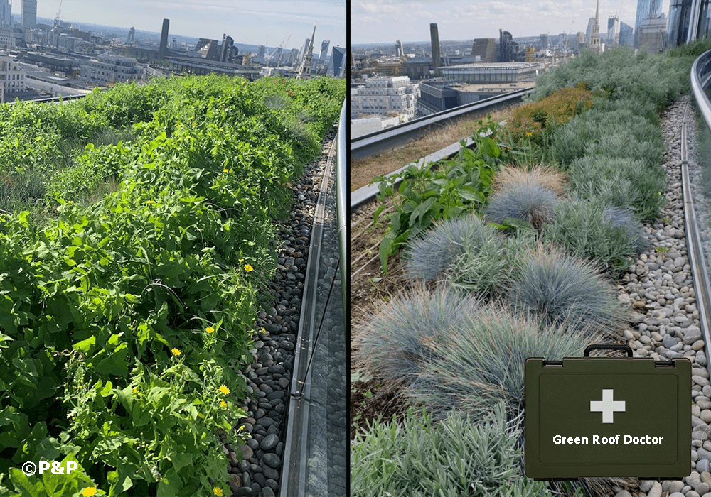 Image shows: Before and after image showing a weedy green roof, then replanted, with a view over the city of London, with image of the P&P green roof doctor's bag over the top.