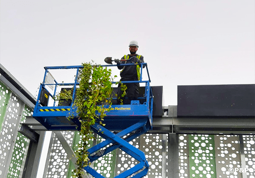 Image shows member of the P&P green wall installation crew on a raised platform planting climbers in planters at the top of a hanging wall in Brighton.