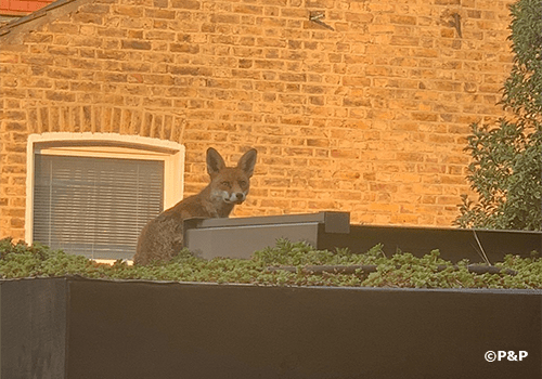 Image shows an alert fox on a green roof at sunset.